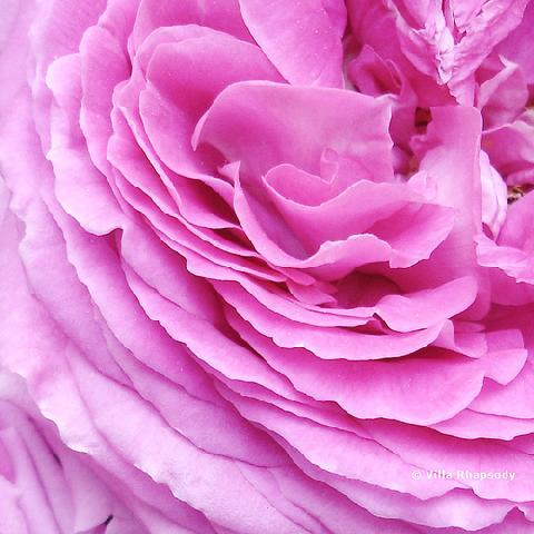 Turkish Rose  Rose